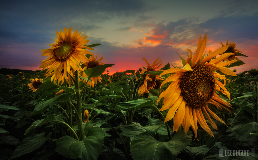 Sunflowers, Loire Valley, France