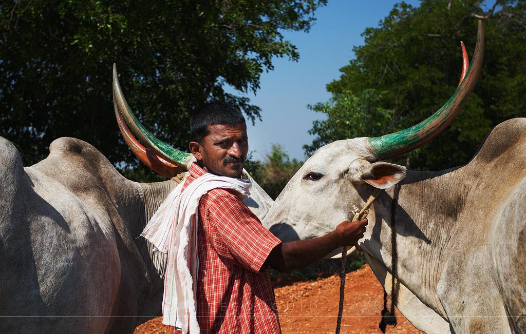 farmer with bulls India