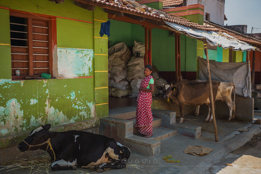 woman cows rural life India