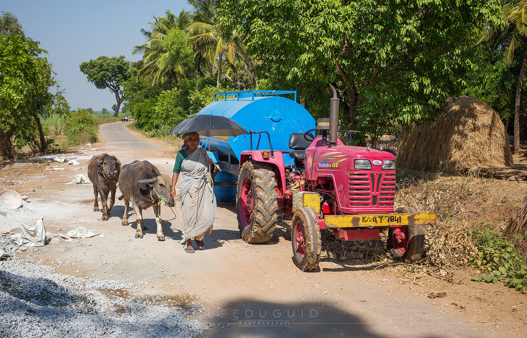 woman leading cows india tractor