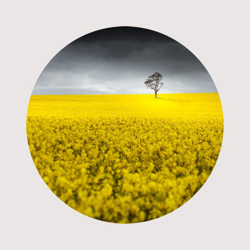 Canola Field Circular photo